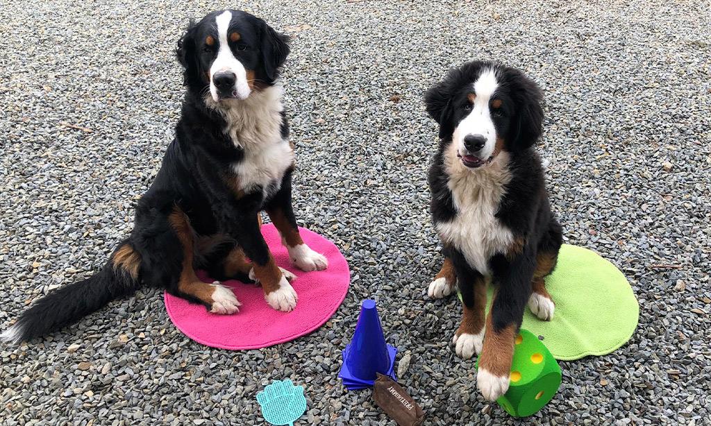 Zwei große Hunde sitzen auf ihren Decken und vor ihnen liegt Spielzeug.